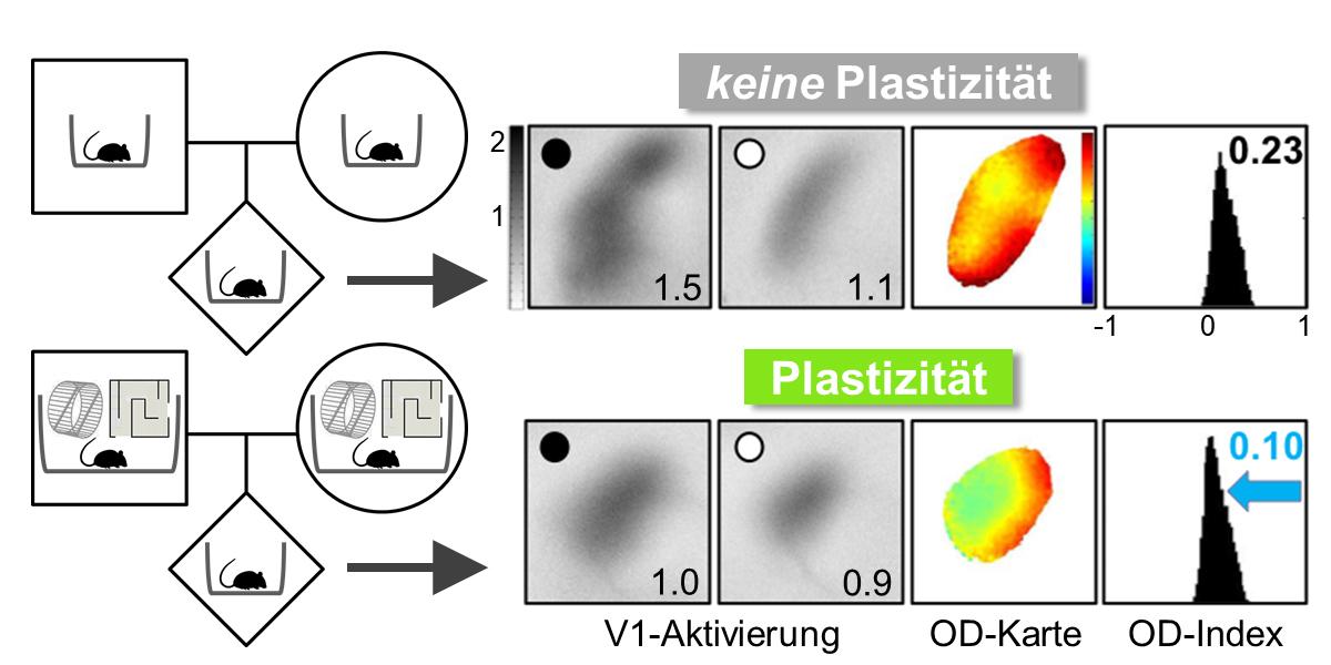 Es gibt immer mehr Beweise dafür, dass Lebenserfahrungen der Eltern über Generationen hinweg weitergegeben werden können. Die Bildgebung der neuronalen Aktivität zeigt, dass der primäre visuelle Kortex (V1) der Maus nach mehreren Tagen monokularem Sehen (schwarzer Punkt) bei Mäusen, deren Eltern eine stimulierende Umgebung erlebten (untere Reihe),