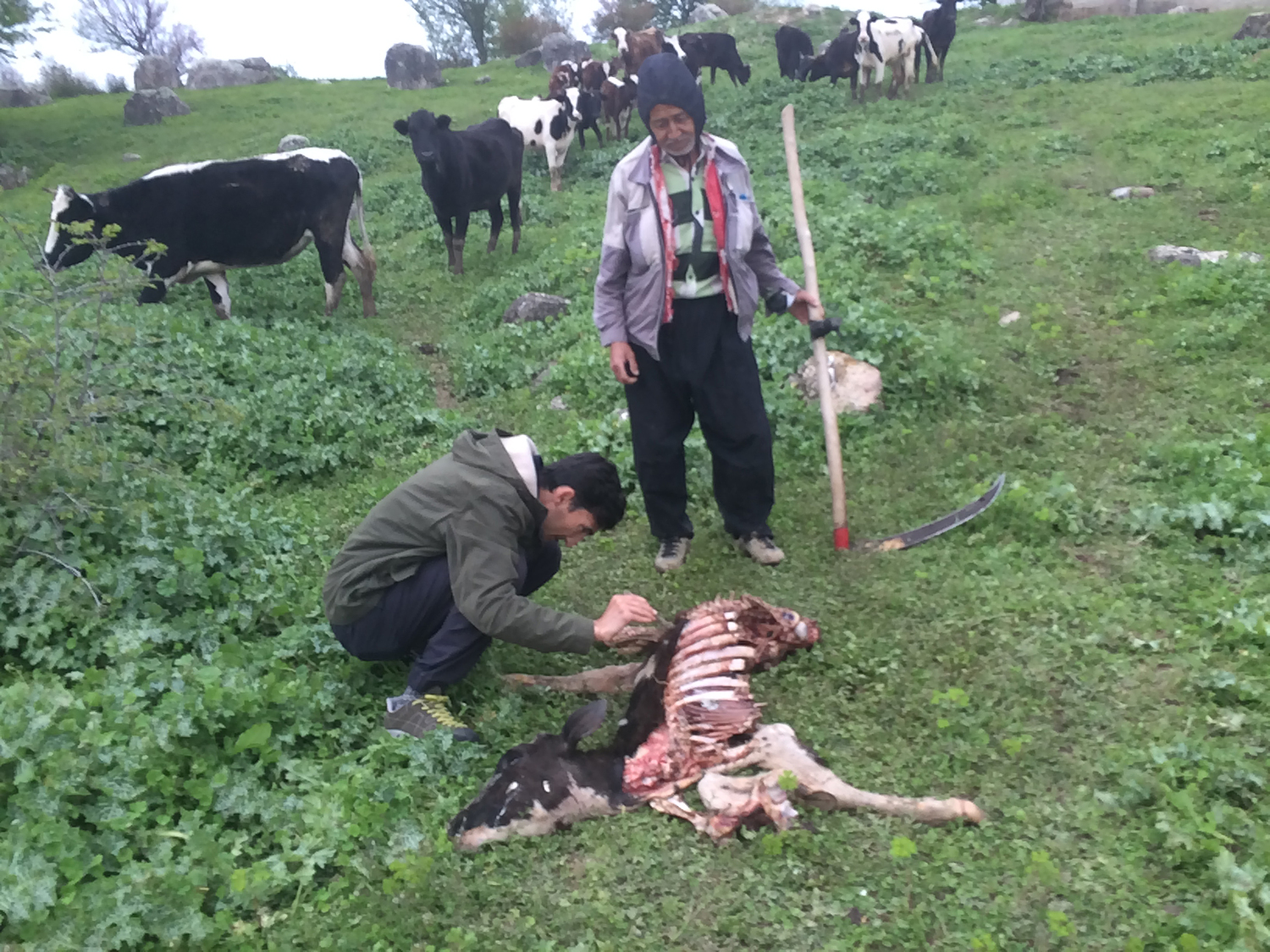 Dr. Mahmood Soofi investigating cattle killed by wolf pack near Golestan National park, Iran.