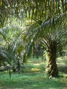 In Indonesia and Malaysia in particular, the area cultivated with oil palms has increased significantly over the last 20 years.
