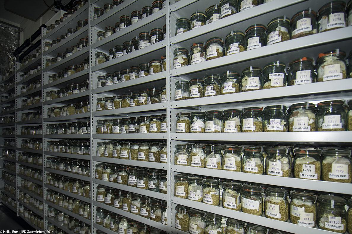 Dauerhafte Lagerung unterschiedlicher Gerste Muster im Kühllager der Genbank.