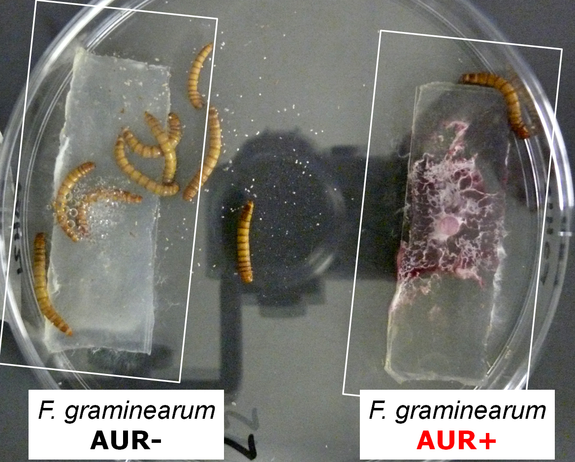 Mealworms offered the mould Fusarium graminearum with Aurofusarin (right) and its mutant without Aurofusarin (left), prefer the mutant.