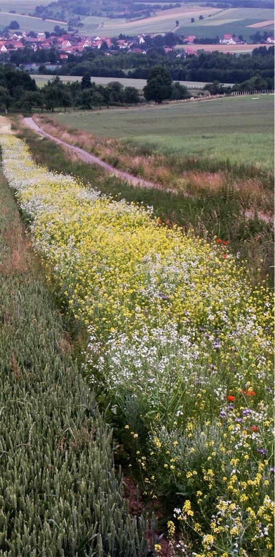 Ein Blühstreifen nahe Göttingen - er sorgt für mehr Artenvielfalt.