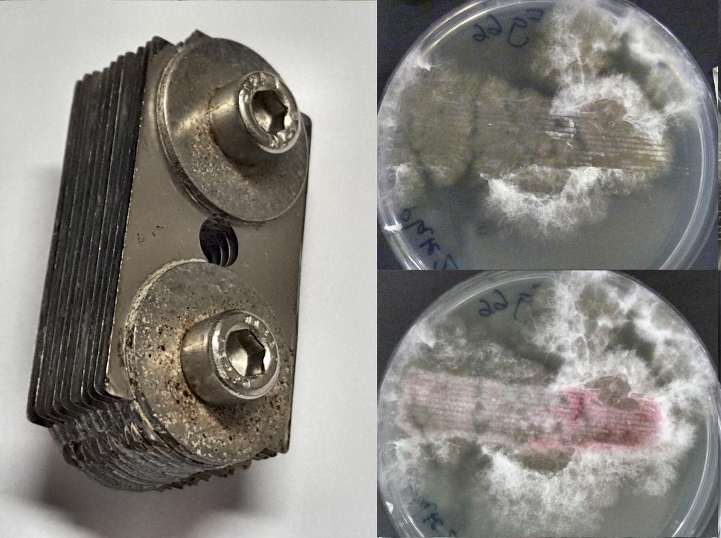 Dem Pilzmyzel von Fusarium graminearum (rechts oben) mit Rasierklingen (links) zugefügte Schnittwunden stimulierten die Synthese des roten Pigments Aurofusarin (rechts unten).