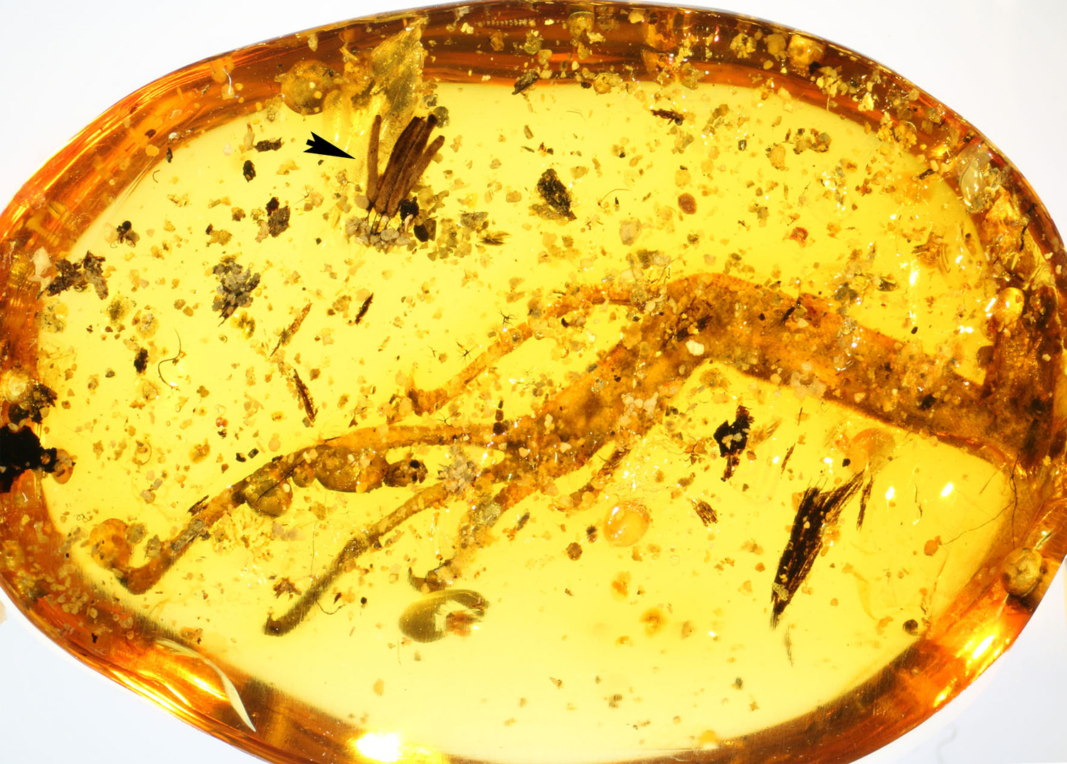100 million-year-old amber piece with lizard leg and mycomycete (arrow).