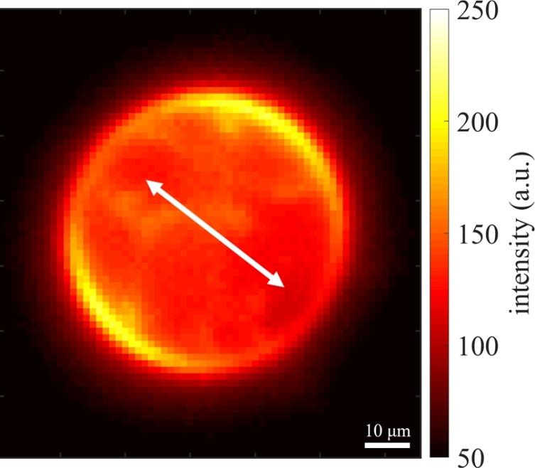 Eine farbstoffmarkierte Membran, die unter polarisiertem Licht gesehen wird (Pfeil). Dies zeigt, dass die Moleküle entlang des Umfangs der Membran ausgerichtet sind.