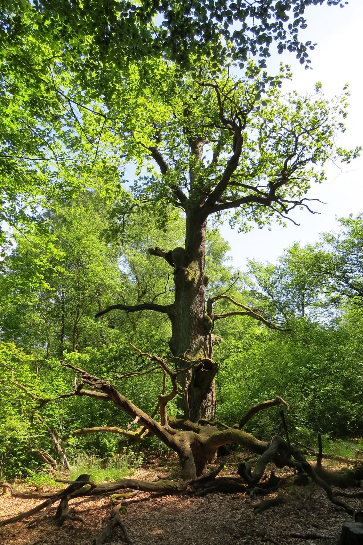 Alte Huteeiche im Urwald Sababurg: früher als Mastbaum bei der Viehhaltung im Wald genutzt,  heute ein lebender Habitatbaum, der vielen Arten eine Überlebensmöglichkeit bietet.