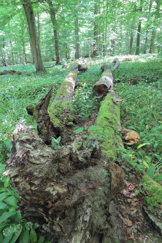 Lebensquelle Totholz: liegendes und durch Pilze sowie andere Mikroorganismen bereits stark zersetztes Totholz in der Kernzone des Nationalparks Hainich.