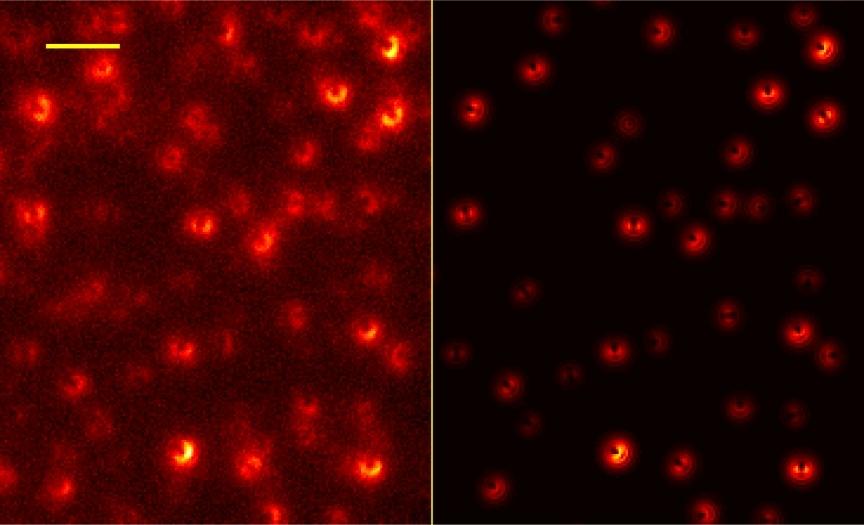 Bild von einzelnen Molekülen auf dem Graphenblatt. Solche Bilder ermöglichen es den Wissenschaftlern, die Position und Orientierung für jedes Molekül zu bestimmen. Der Vergleich mit dem erwarteten Bild (rechts) zeigt eine ausgezeichnete Übereinstimmung.