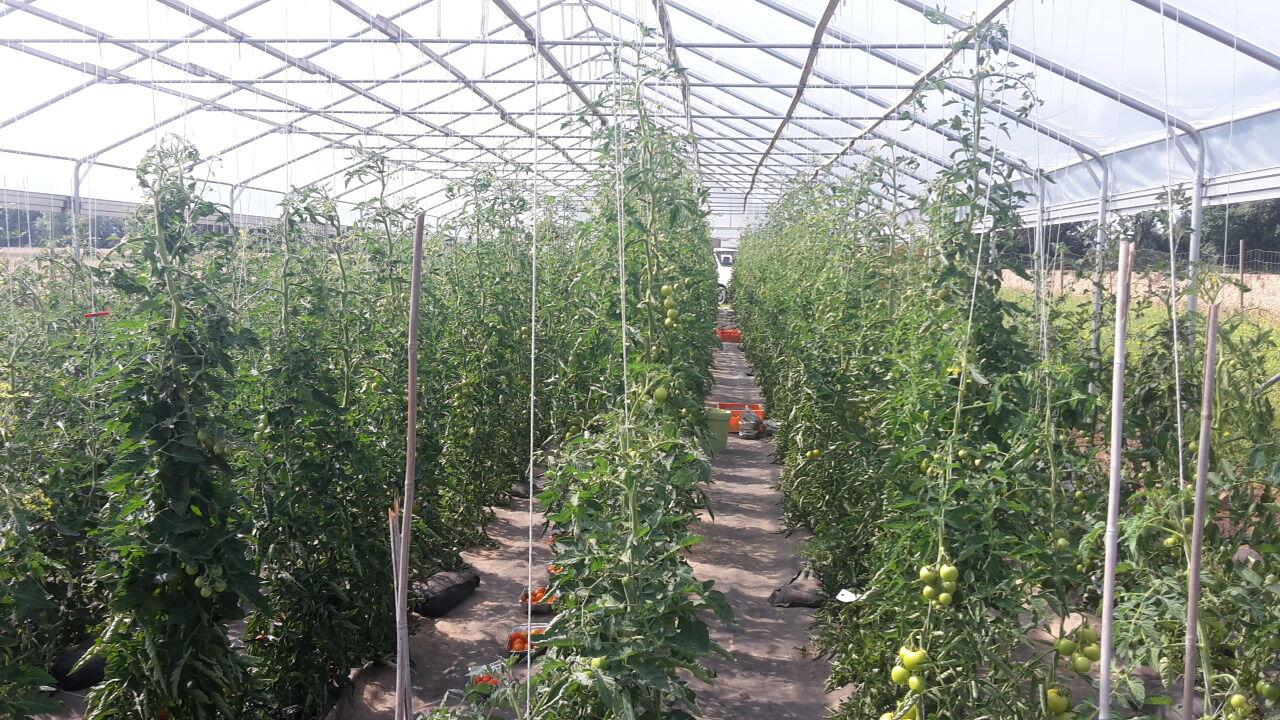 Wie muss eine Tomate beschaffen sein, damit sie bei Verbraucherinnen und Verbrauchern gut ankommt?