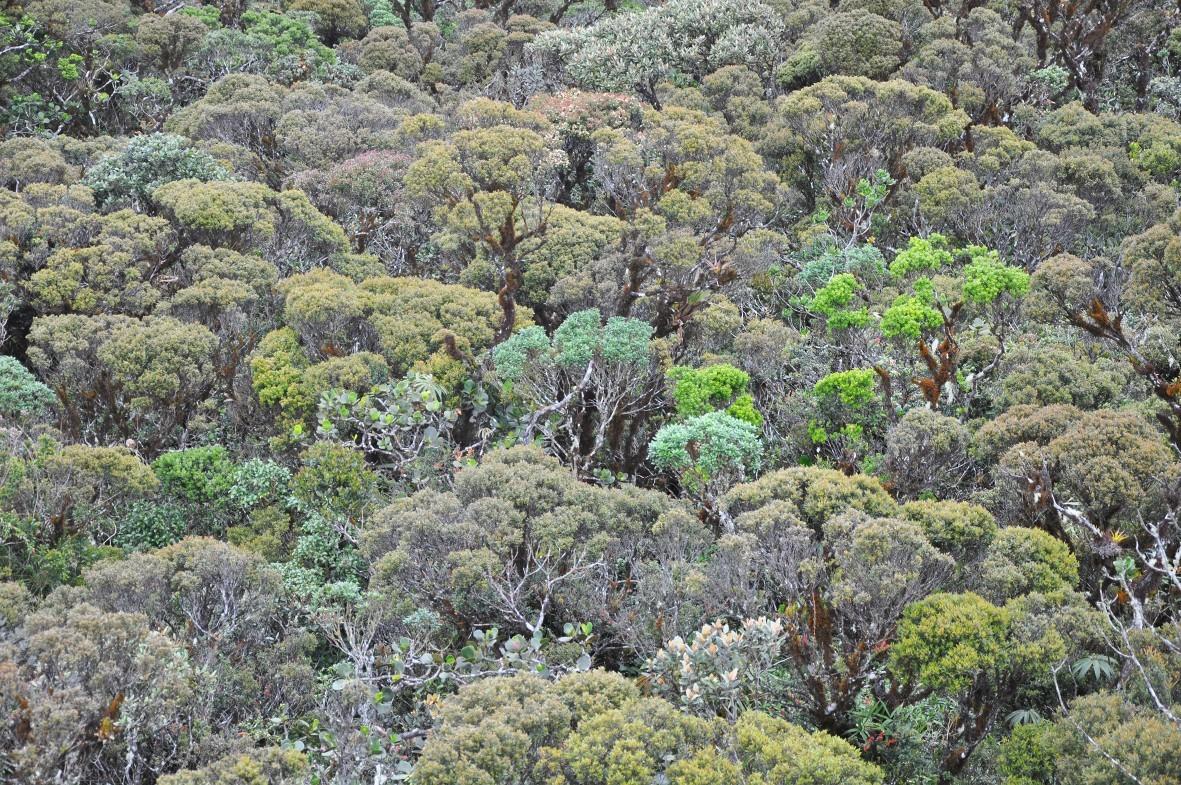 Bergregenwald kurz unterhalb der Waldgrenze im Podocarpus Nationalpark, Ecuador.