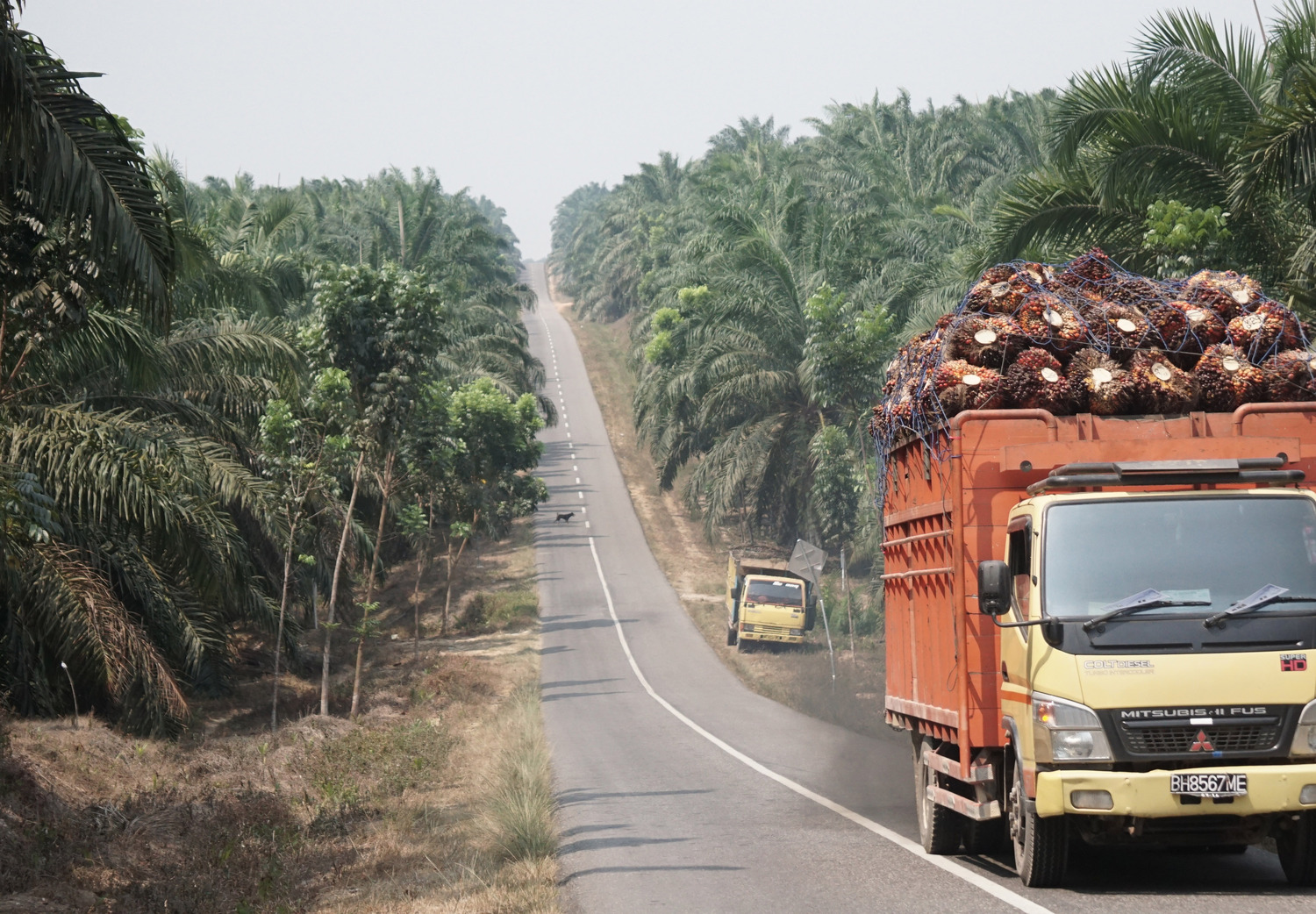 Truck loaded with oil palm fruit bunches, driving through oil palm tree plantation in Jambi province, Sumatra (Indonesia)