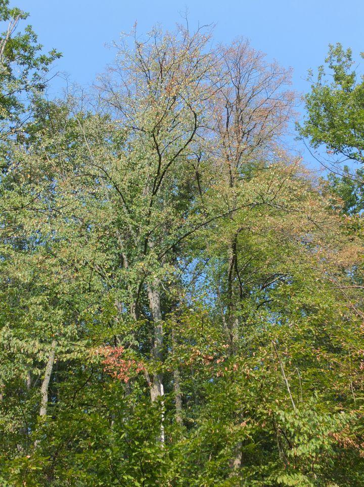 Laubwald aus Eichen und Linden jenseits der Wärme- und Trockengrenze der Buche. Typisch sind mehrschichtig aufgebaute Wälder mit lichten Kronendächern und vorzeitigem Laubfall nach längeren Hitzeperioden.