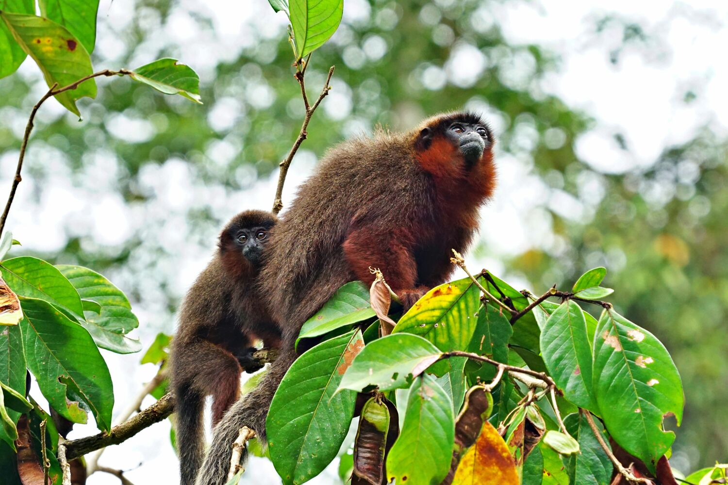 This young coppery titi monkey (Plecturocebus cupreus) benefits from paternal care. The males of the pair living titi monkeys are primarily taking care of the offspring.