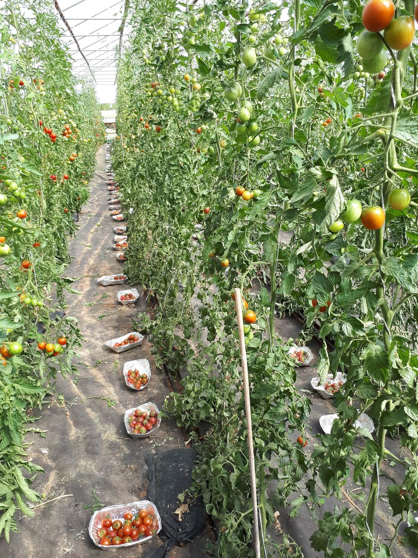 Wenn es um den Geschmack geht, kommt es vor allem auf die Tomatensorte an.