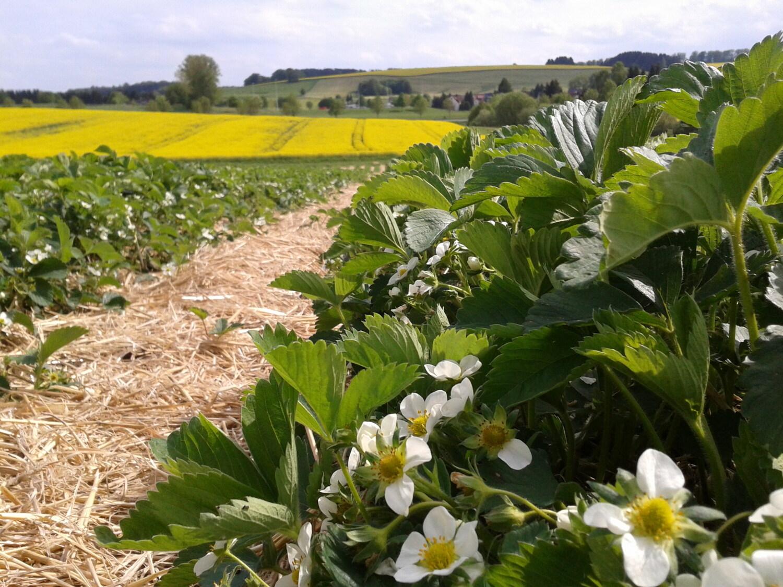 Wenn Erdbeerfelder neben Raps stehen, bevorzugen Honigbienen das Erdbeerfeld.