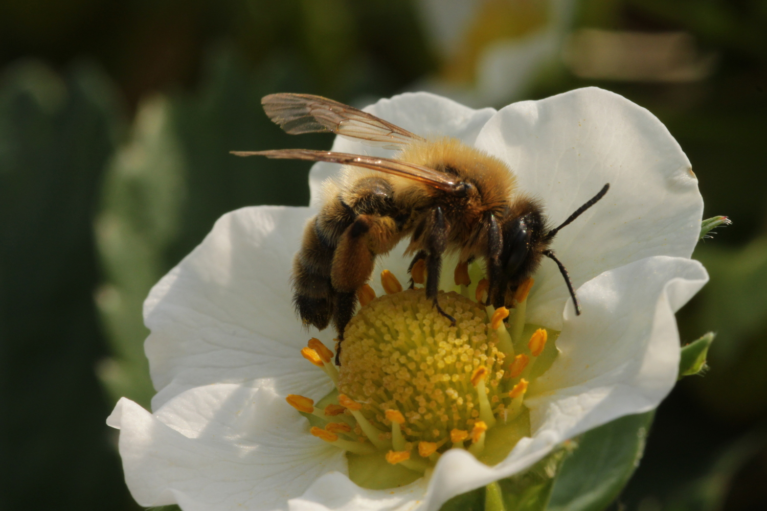 Investigations in the surroundings of Göttingen showed that pollination is not so much ensured by honey bees as by wild bees.