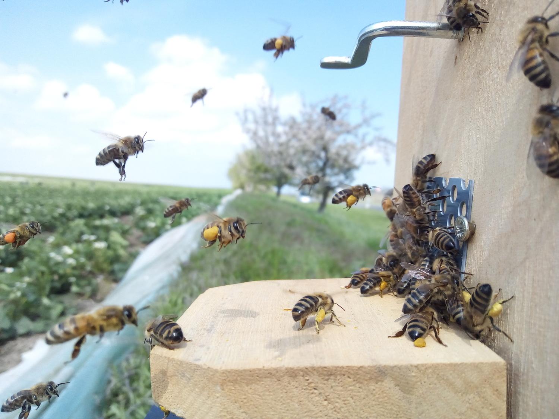 Das Forschungsteam stellte kleine Honigbienenvölker an elf Standorten in der Region Göttingen/Kassel neben Erdbeerfeldern auf.