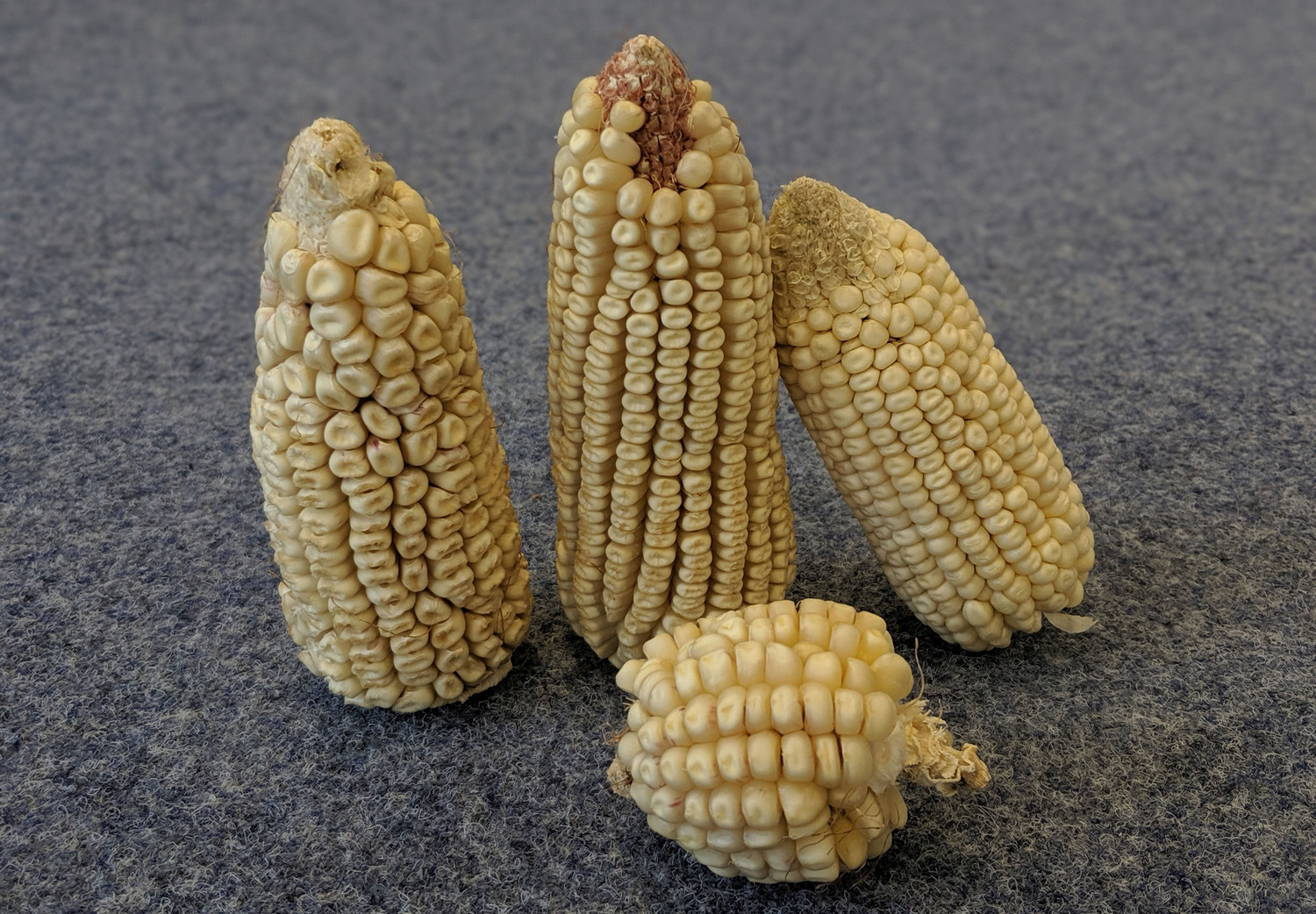 White maize (white corn) on the cob as grown for the study