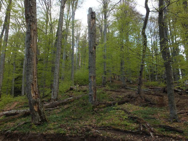 Strukturreicher, durch das altersbedingte Absterben von Bäumen aufgelichteter natürlicher Buchenwald, reich an stehendem und liegendem Totholz sowie Habitatbäumen mit reichlich Baum-Mikrohabitaten.