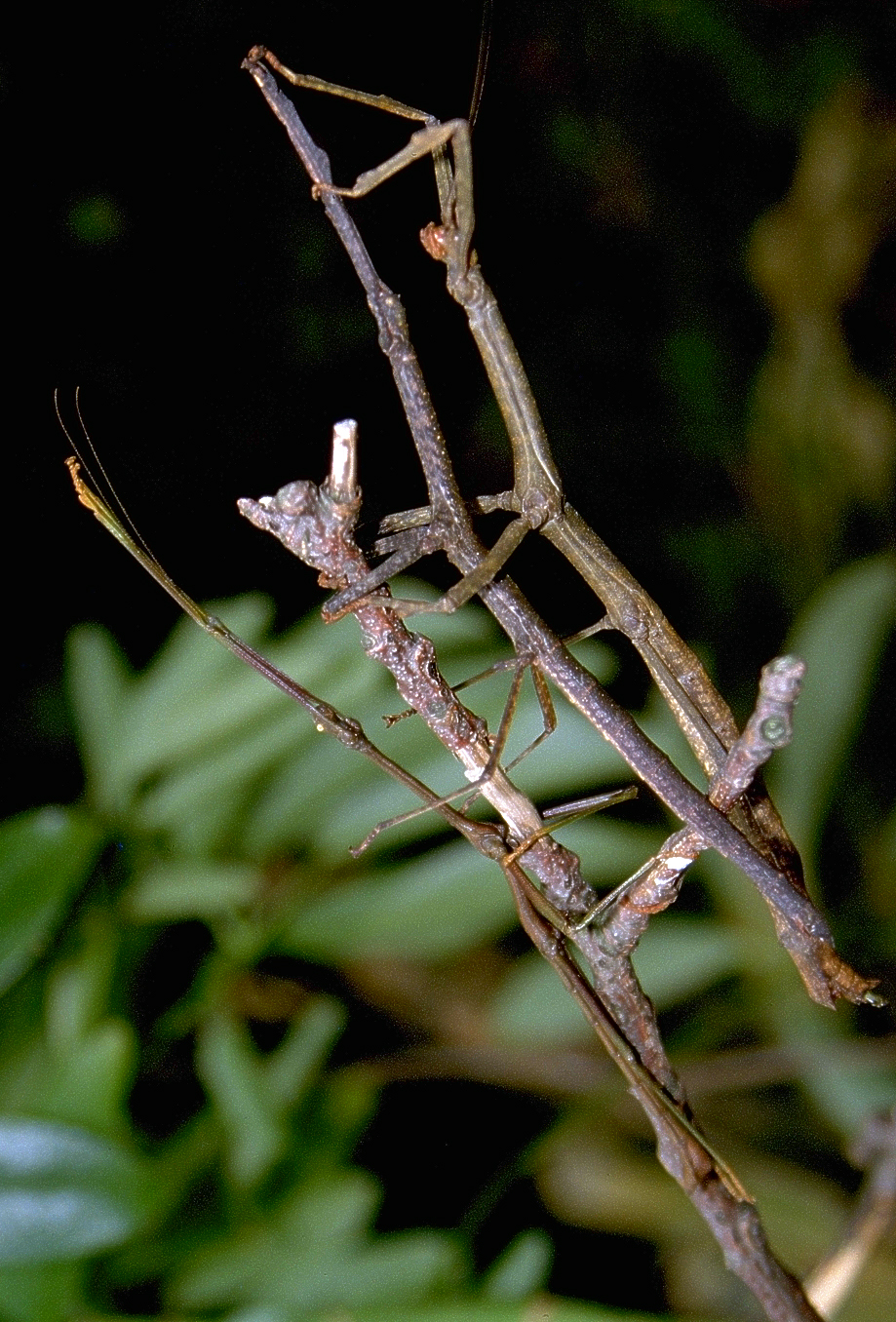 Diese Wandelnden Äste (zwei Weibchen und ein Männchen von Lonchodes brevipes) aus Westmalaysia müssen ihre Tarnung nicht aufgeben, wenn sie ihre Eier einfach zu Boden werfen.