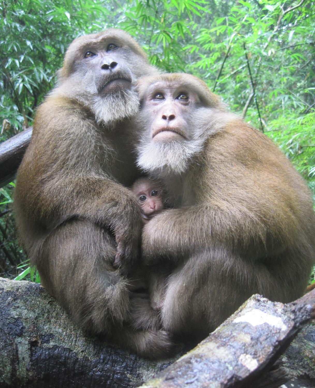 Zwei männliche Assammakaken zusammen mit einem Säugling.
