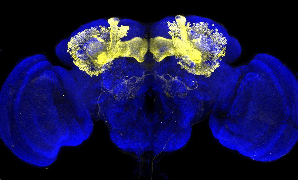 Die Abbildung zeigt in blau ein Gehirn der Taufliege Drosophila melanogaster. Gelb gefärbt sind genetisch markierte Nervenzellen zu sehen, die zusammen die beiden sogenannten Pilzkörper bilden. Die Forschungsgruppe arbeitet an der Entschlüsselung der Schaltkreise, die von diesen Nervenzellen gebildet werden.