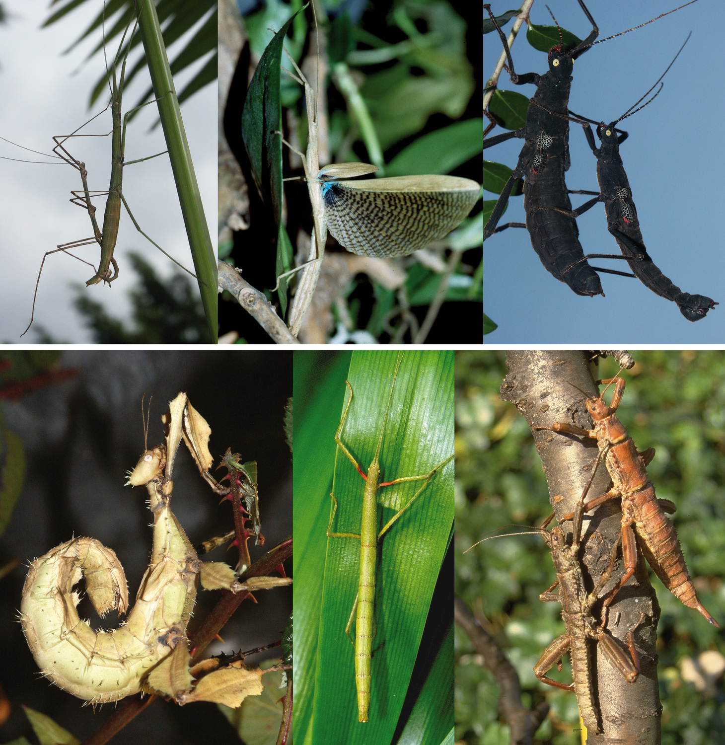 Stick insect relatives: different in appearance but of the same origin. Surprisingly, New World (above) and Old World stick insects (below) form their own evolutionary lines within this insect group, as a new genomic study shows. From top left to bottom right: pair of Mexican stick insects Pseudosermyle phalangiphora, female of Metriophasma diocles from Panama, pair of Black Velvet stick insects Peruphasma schultei from Peru, female of Australian Giant Prickly stick insect Extatosoma tiaratum, female of Indian stick insect Carausius morosus, a pair of