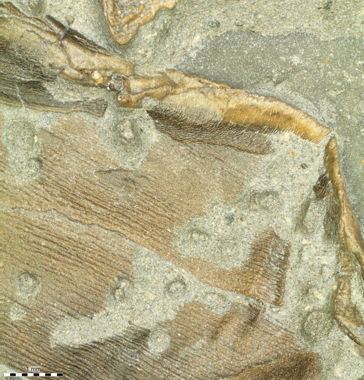 Fossilized skin forming the trailing edge of the right pelvic fin.