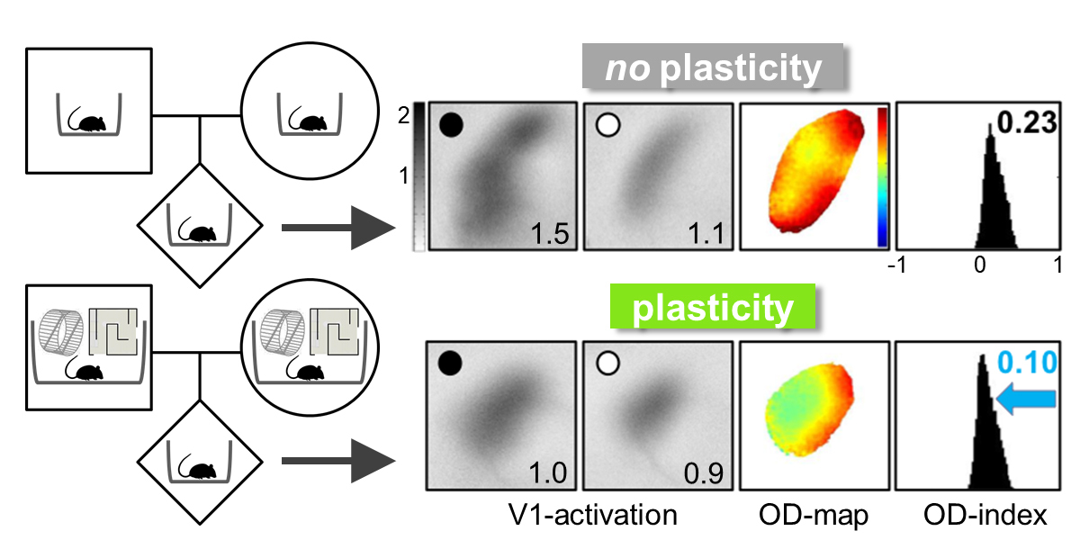 "Evidence is accumulating that life experiences of the parent can be transmitted across generations. Imaging of neuronal activity shows that - after several days of monocular vision (black dot) – the mouse primary visual cortex (V1)  is more ""plastic"" (ie adaptable) in mice whose parents experienced a stimulating environment (bottom row), compared with mice whose parents experienced a standard cage (top row).  Thus the environment experienced by parents can strongly affect brain plasticity (ie adaptability) of the offspring. Abbreviations: OD = ocular dominance."