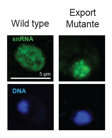 "Detection of cytoplasmic snRNA in normal (""Wild type"") cells in the cytoplasm and the"