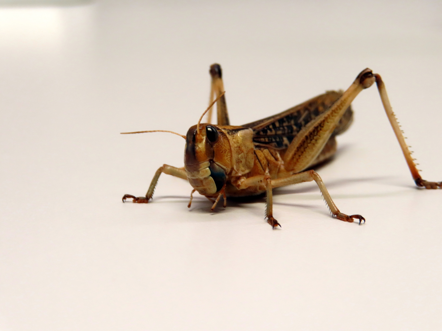 The research team was able to identify an alternative EPO receptor in migratory locusts