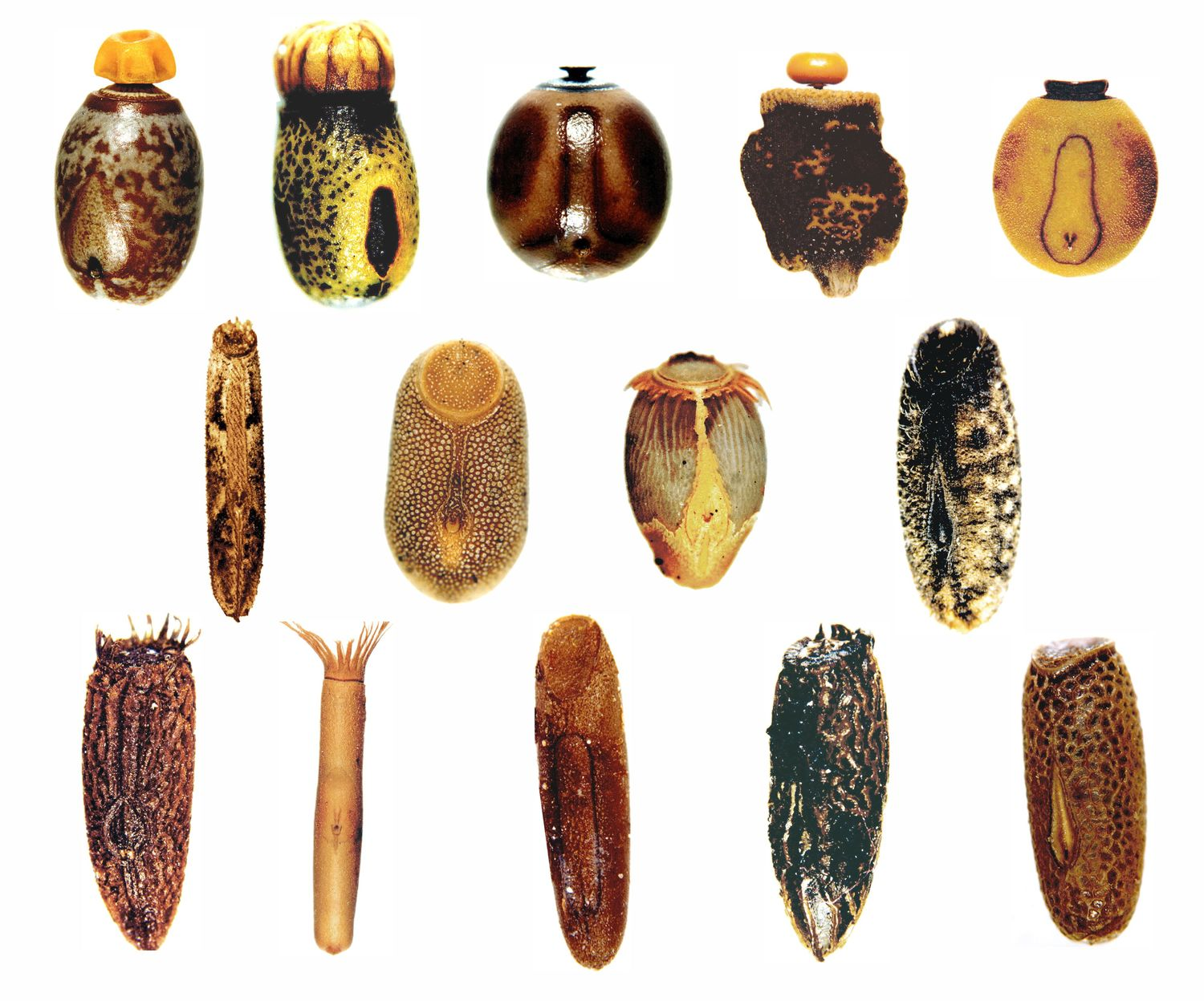 Diversity of stick insect eggs: In most cases, the seed-like hard-shelled eggs are just dropped to the ground (upper row) where they are carried away by ants due to a nutritious appendage, eggs of some species are glued to plants (middle row) or inserted into soil (bottom row).
