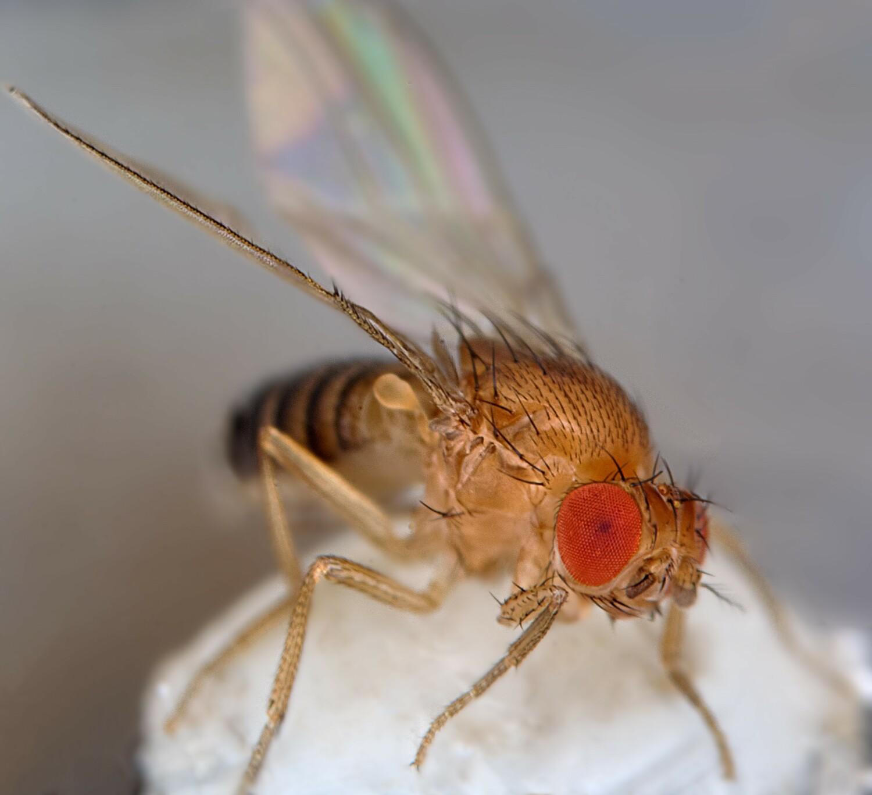Die Antennen der Fruchtfliege, die zwischen den Augen sitzen, dienen als Ohren.