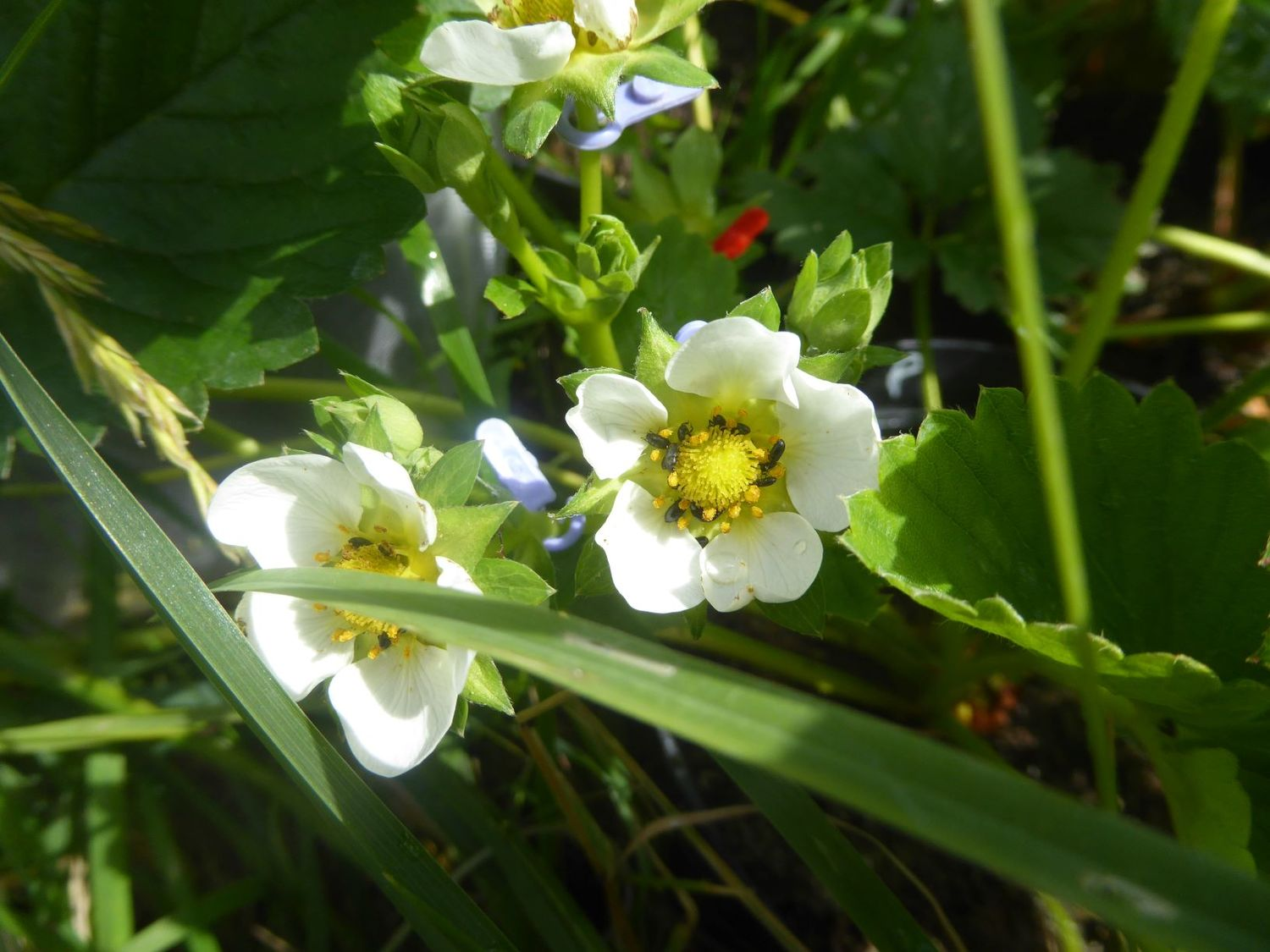 Flower-eating pollen beetles in the blossoms of strawberry plants