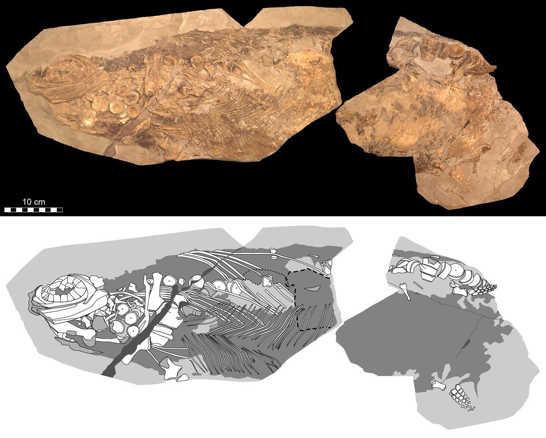 Das untersuchte Fossil des Ichthyosauriers der Gattung Stenopterygius ist ca. 85 Zentimeter lang.
