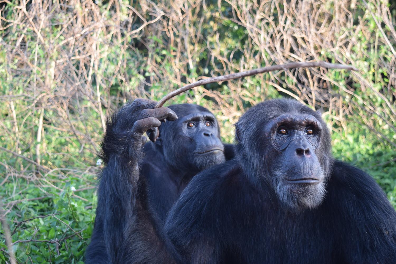 Kalema und Eddie, zwei der Versuchsteilnehmer auf Ngamba Island, Uganda.