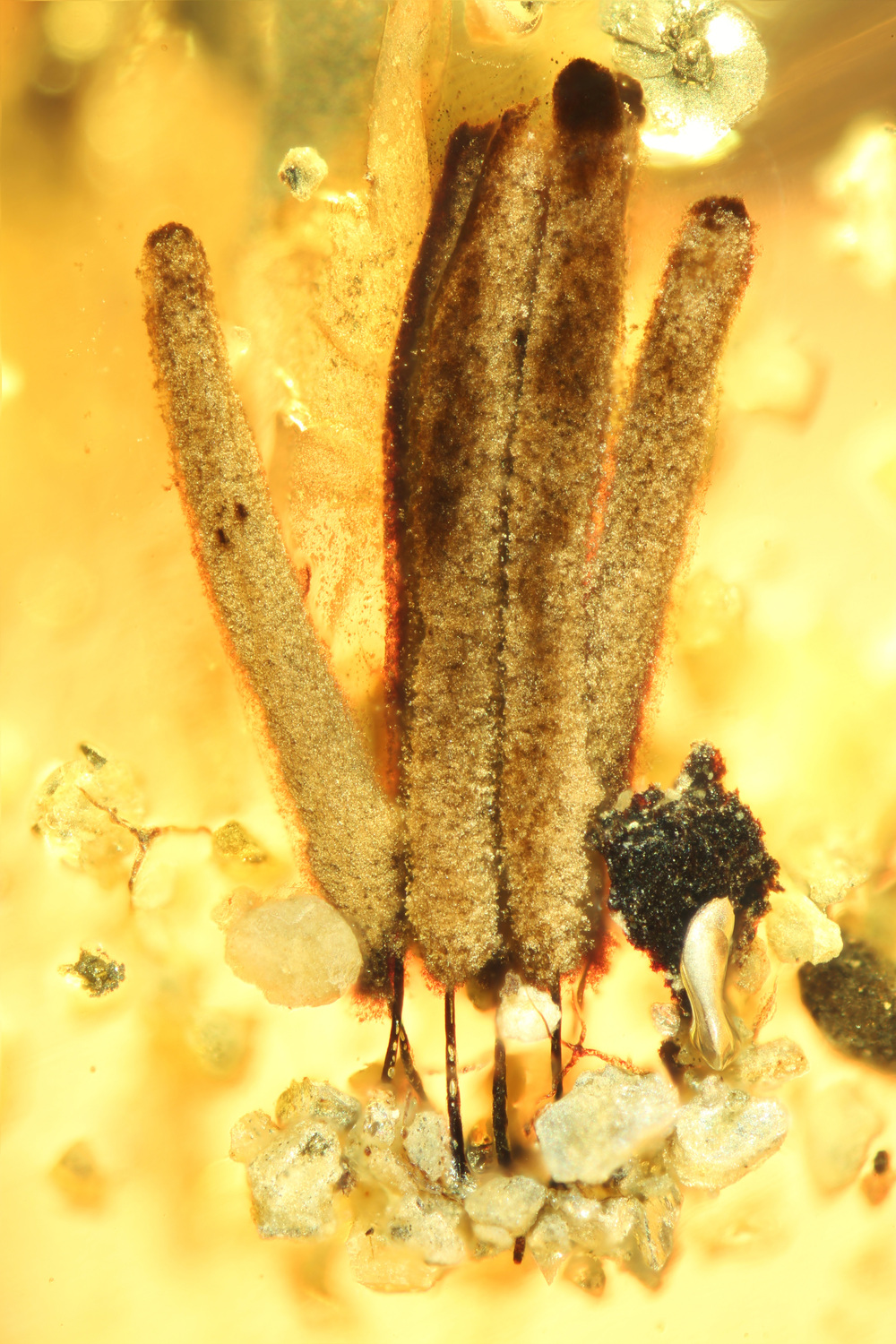 Group of several fruiting bodies of a slime mould (myxomycetes), around 2.5 millimetres long, in amber, which is about 100 million years old, from Myanmar: long-stalked fruiting bodies support the distribution of the spores, then as now.