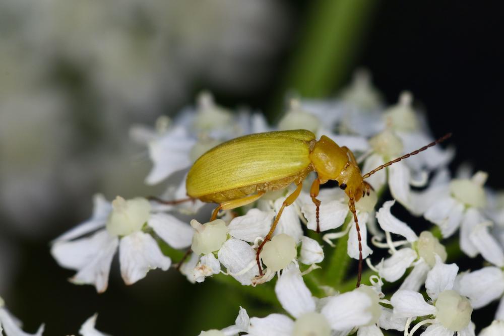 Der Schwefelkäfer (Cteniopus sulphureus) ernährt sich von Pollen verschiedener Pflanzen.