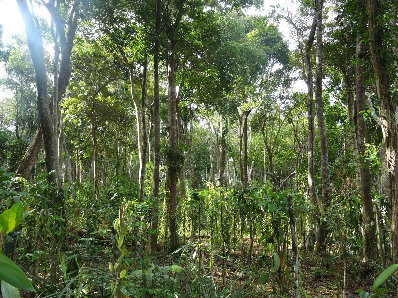 Vanille Agroforsts in Madagaskar, welcher direkt im Wald etabliert wurde. Der Anbau bietet zwar einen Lebensraum für gewisse Tier- und Pflanzenarten, Wald-Spezialisten können hier aber nicht mehr leben.