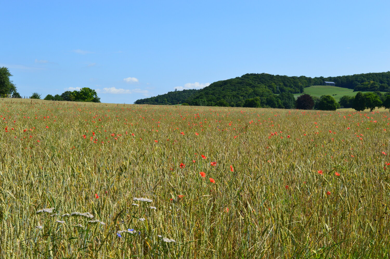 Ökologischer Getreideacker: Hummelvölker profitieren unter anderem von großen Feldern im Ökolandbau.