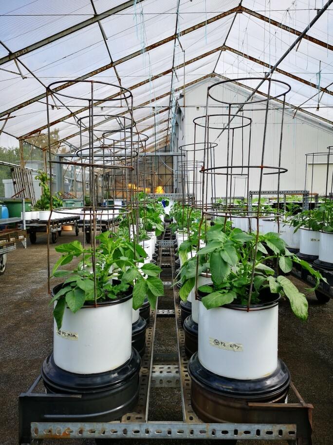 Mehrere Speise- und Stärkekartoffelsorten wurden bei unterschiedlichen Boden-Phosphorgehalten im Gefäßversuch angebaut und analysiert.