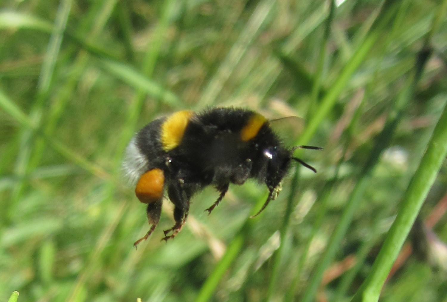 Researchers documented the weight gain of the colonies and collected the pollen of the bumblebees.