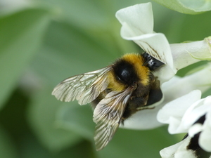 A bumble bee (Bombus hortorum) collects nectar from a faba bean flower.