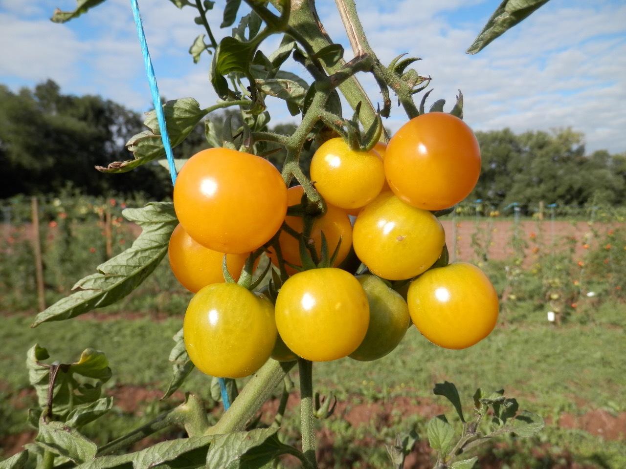 Tomaten der Sorte Sunviva im Öko-Zuchtgarten der Universität Göttingen.
