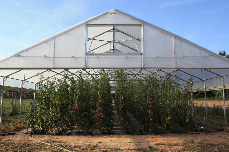 Über die richtige Lagerung von Tomaten wird viel diskutiert.