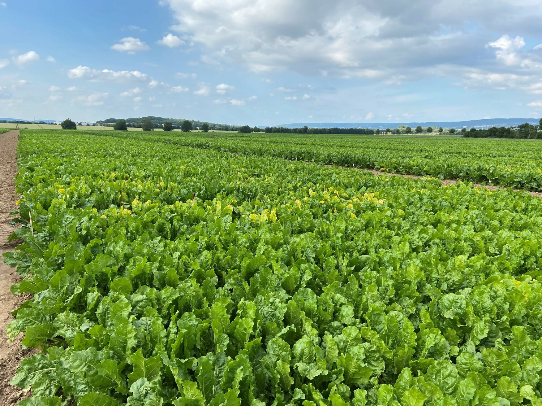 Der Zuckerrübenanbau ist durch die Krankheit Syndrome Basse Richesse zunehmend gefährdet.