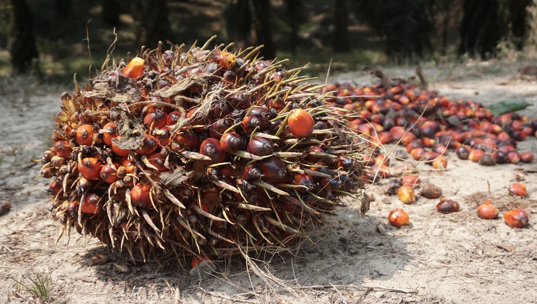 An oil palm fruit bunch