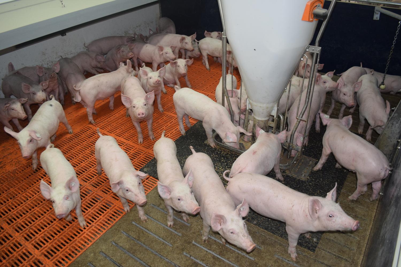 Schweinehaltung im Stall