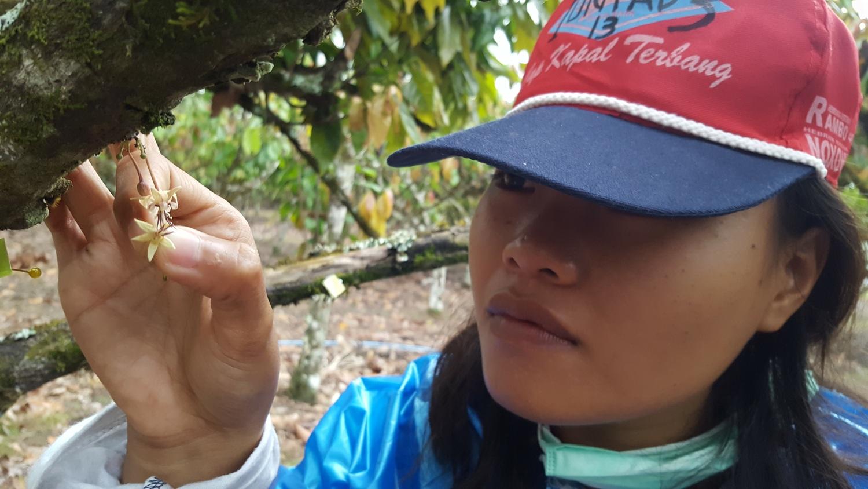 Kakao in Indonesien wird von Hand bestäubt. Hierfür wird ein gutes Sehvermögen erfordert, da die Blüten winzig klein sind.