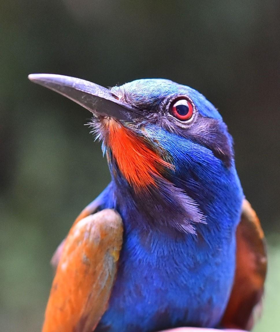 Der Saphirspint ist ein typischer Vogel afrikanischer Regenwälder